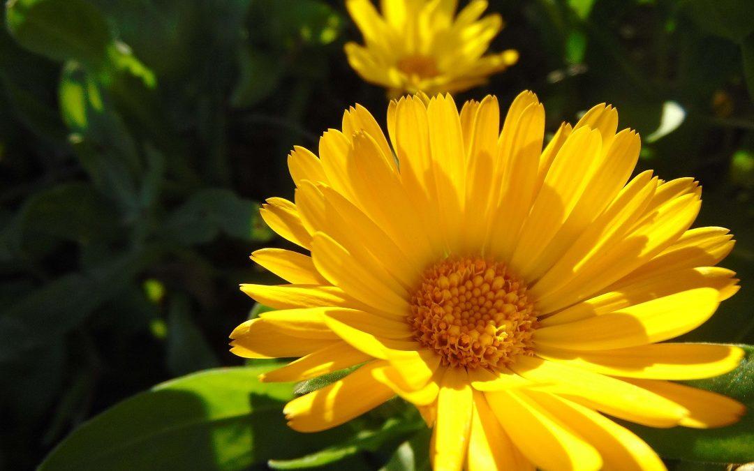 La fleur de Calendula, ou fiancée du soleil